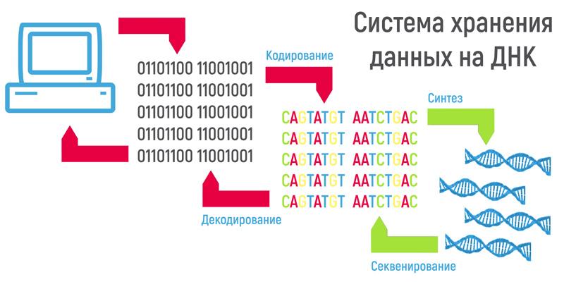 схема хранения ДНК