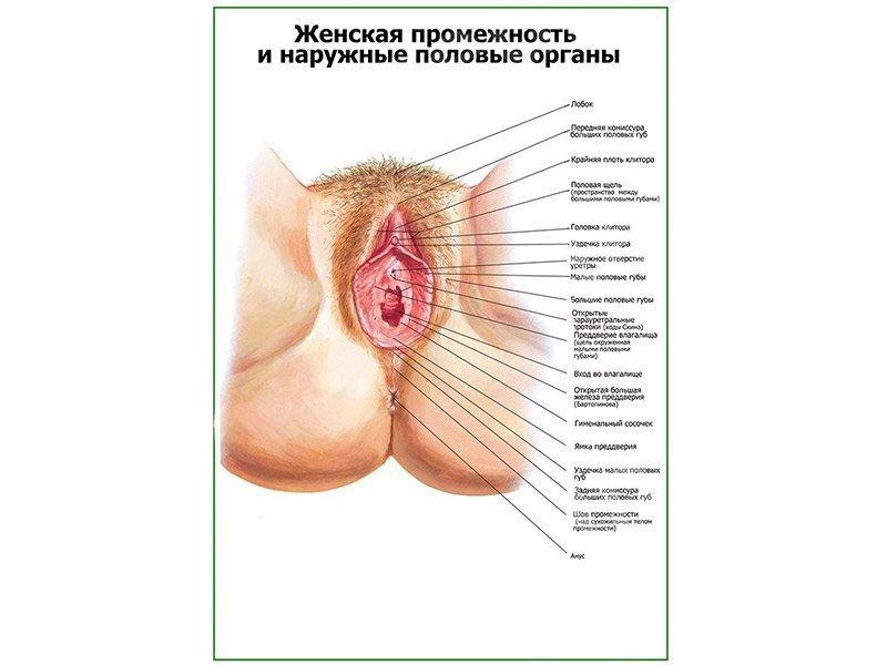 Наружные половые органы у женщин фото — 8